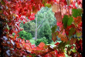 Kookaburra Ridge grapevine red accommodation in Hepburn Springs